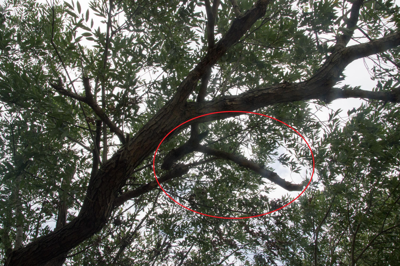 Jedna z suchych, nadłamanych gałęzi, które zwisają nad uczęszczaną przez rowerzystów ścieżką rowerową. - Przecież to w każdej chwili może spaść komuś na głowę - dodaje czytelnik Nowin.